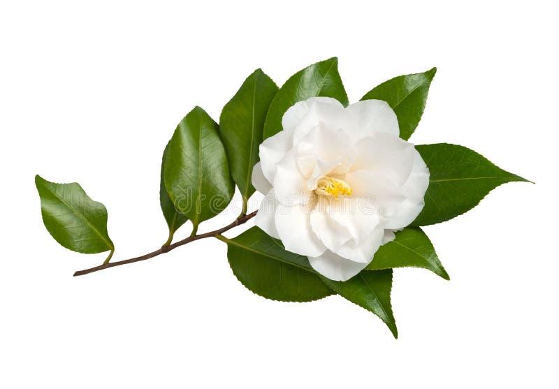 Camellia royaltyfria bilder