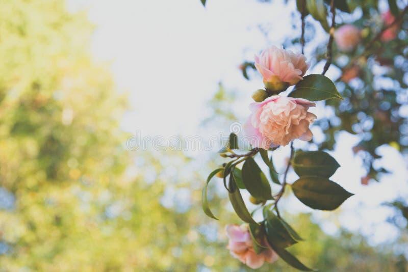 camellia arkivfoto