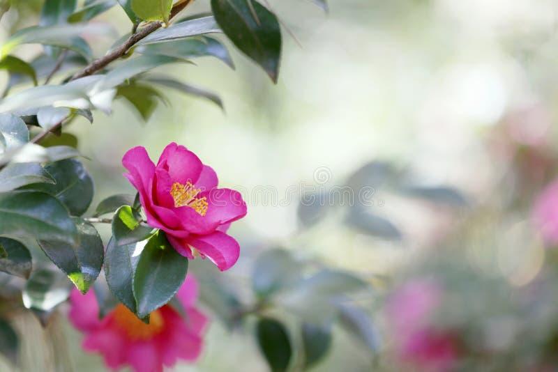 camellia fotografering för bildbyråer