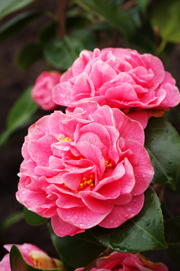 Download Camellia stock image. Image of color, flowers, flower - 5885773