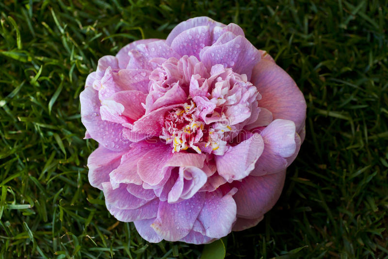 camellia fotografia de stock