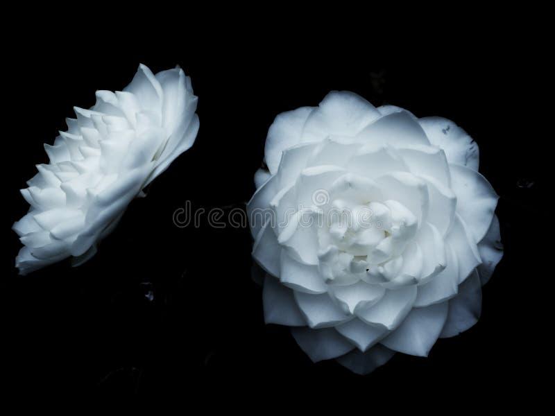 camellia foto de stock