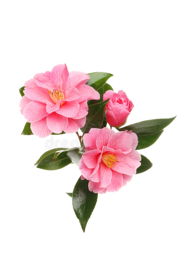 Download Camellia arrangement stock photo. Image of white, evergreen - 39019198