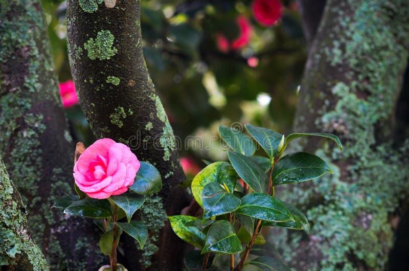 Camellia stock image