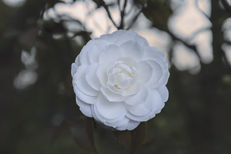Camellia Blooming pura perfecta en primavera fotografía de archivo libre de regalías