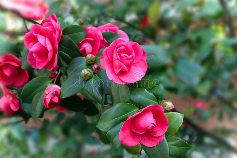 Camellia Blooming Season imagem de stock