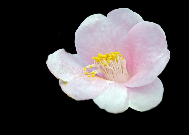 Download Camellia blossom stock photo. Image of isolated, flora - 28587866