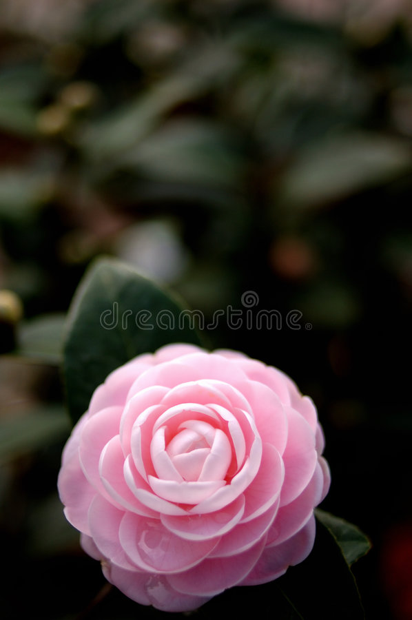 Download Camellia (at the bottom) stock photo. Image of gardening - 5174700