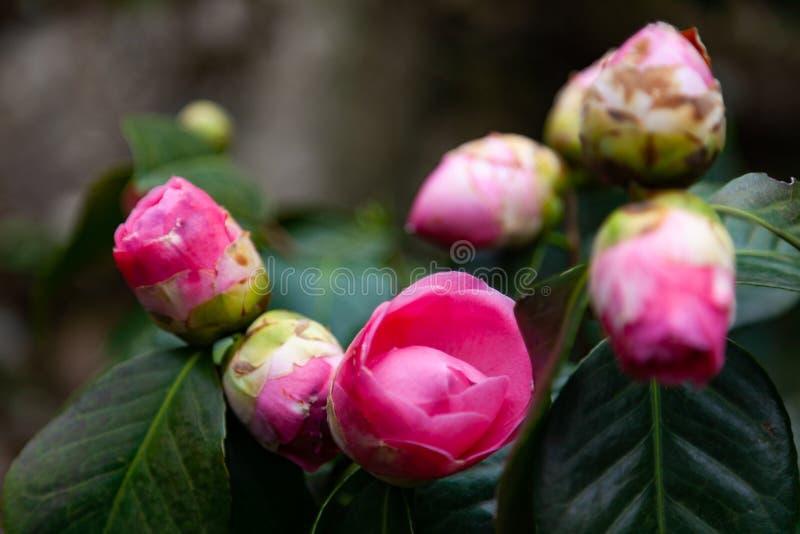 Camellia buds stock photos