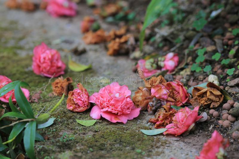 The Camellia Debutante fall on the road. Camellia Debutante japonica, a double pink bloom stock photo