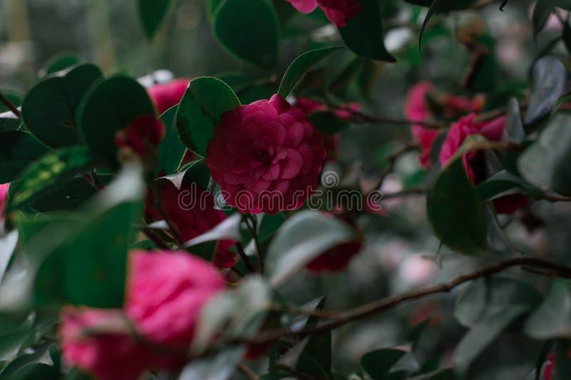 Camellia Flower royaltyfri bild