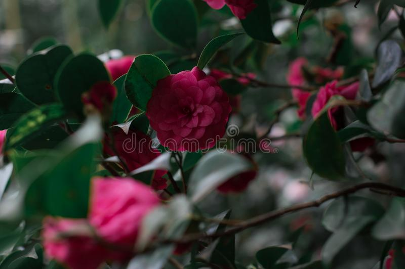 Camellia Flower imagem de stock royalty free