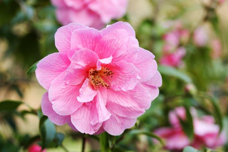 Camellia Flower foto de stock royalty free