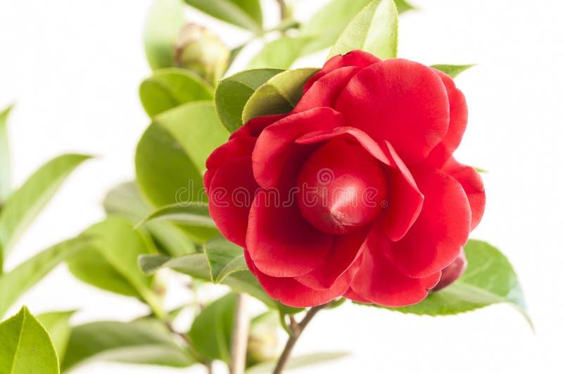 Camellia Flower royaltyfri foto