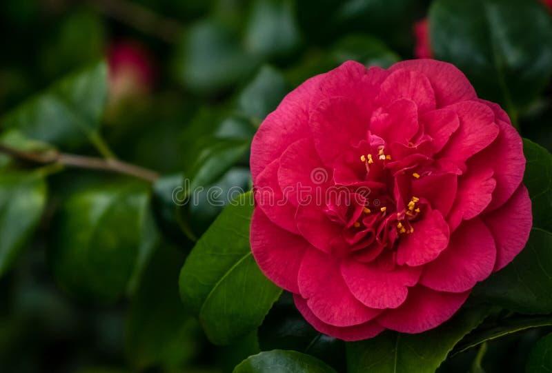 Camellia Flower fotografia de stock