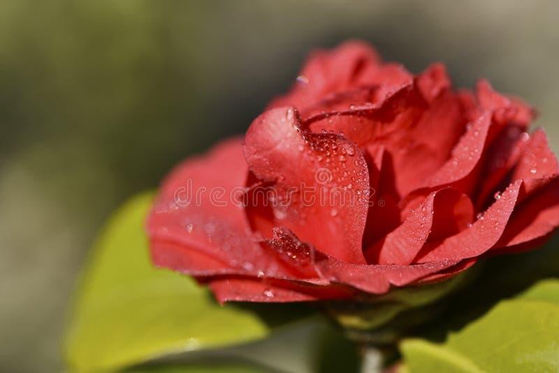 Camellia Flower lizenzfreie stockfotos