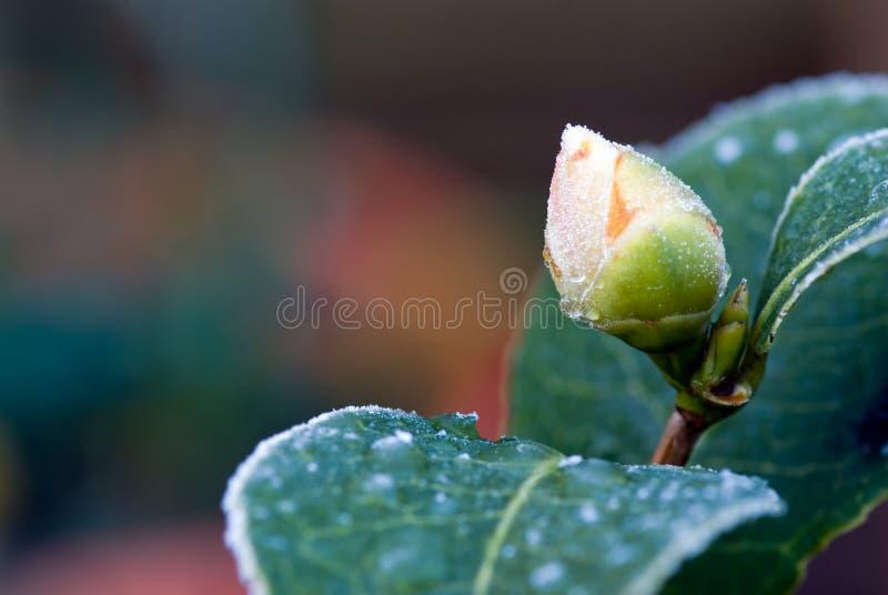 Camellia flower bud stock photos
