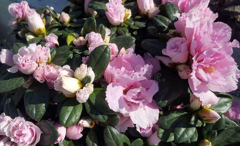 Camellia Flower Bush cor-de-rosa fotografia de stock royalty free