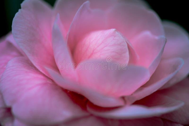 Camellia Flower rosa molle immagine stock libera da diritti
