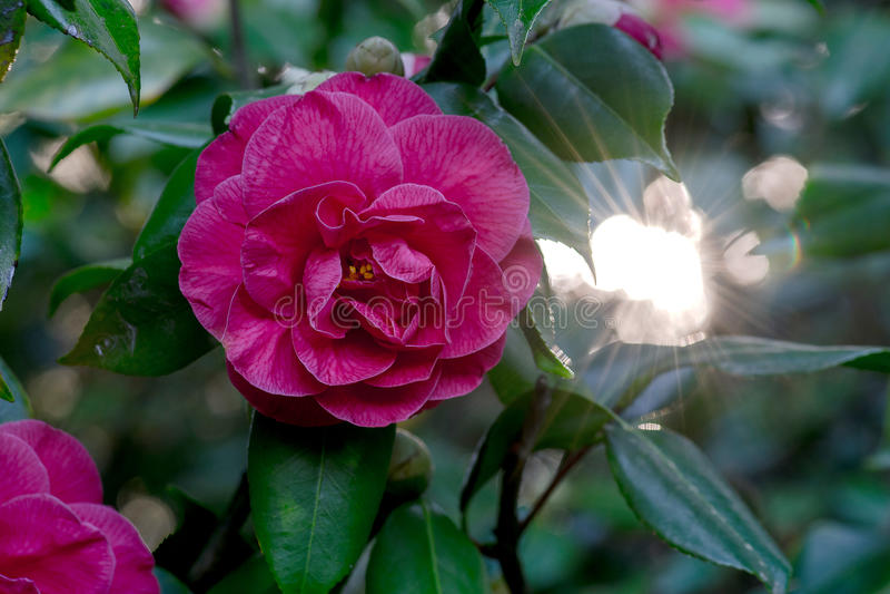 Camellia Flower Sunlight rosa fotografie stock libere da diritti
