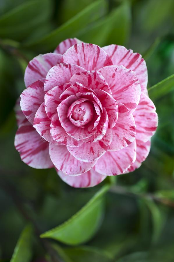 Free Camellia Flower Variegated With Pink And White Stock Images - 113586324