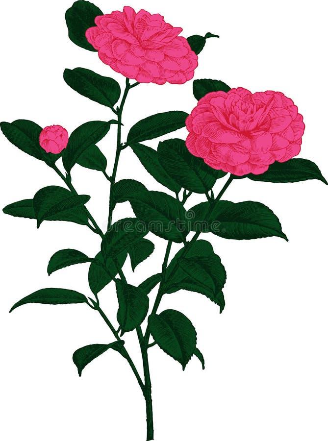 Pink Camellia flower. Vector
