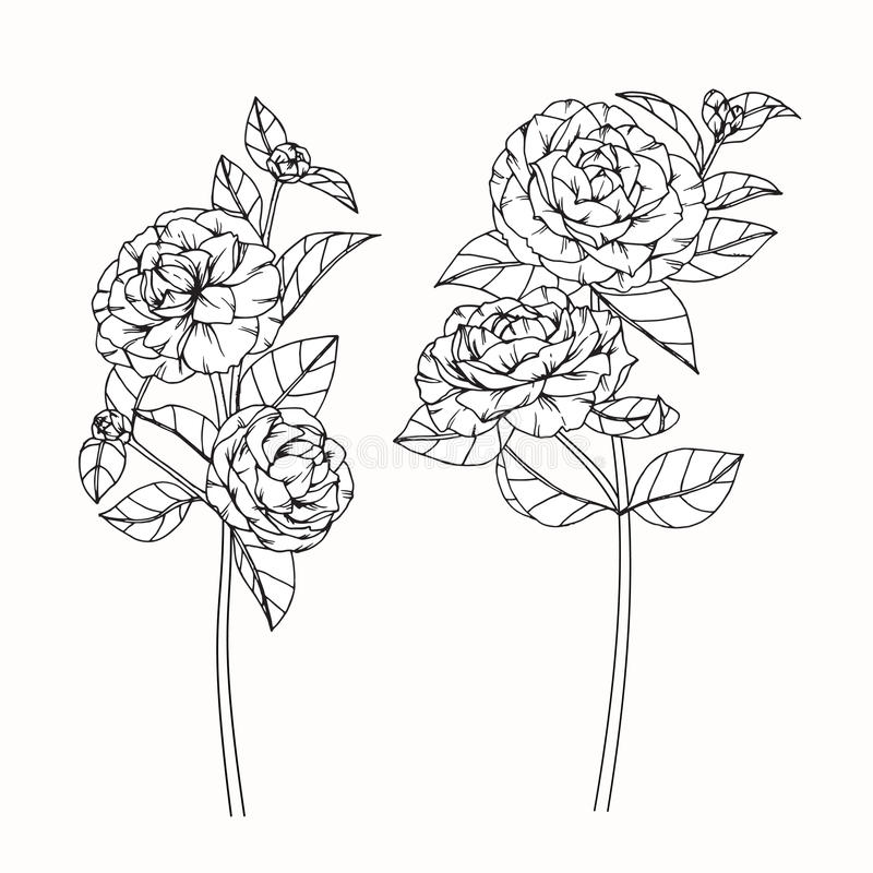 Camellia Flower Line Drawing : Camellia flowers drawing and sketch with line art stock