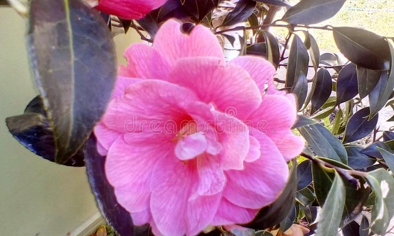 Camellia japonica  stock images