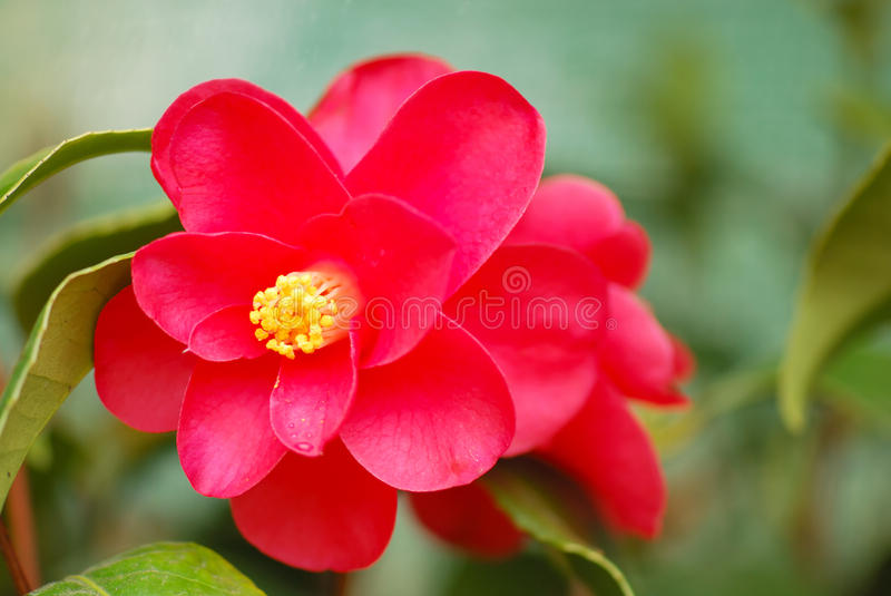 Camellia japonica. Closeup view of an opened red camellia japonica, the official state flower of Alabama stock image