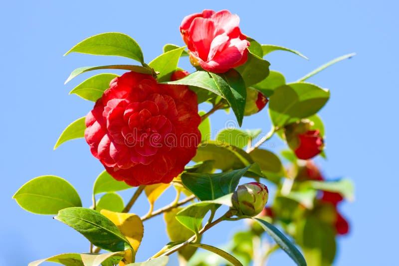 Camellia japonica. Macro shot over sky royalty free stock photos