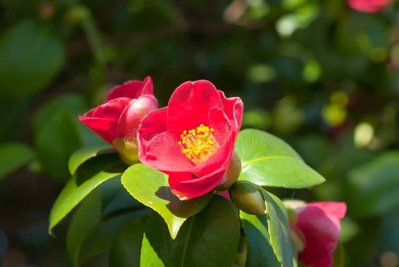 Camellia Japonica royaltyfri foto