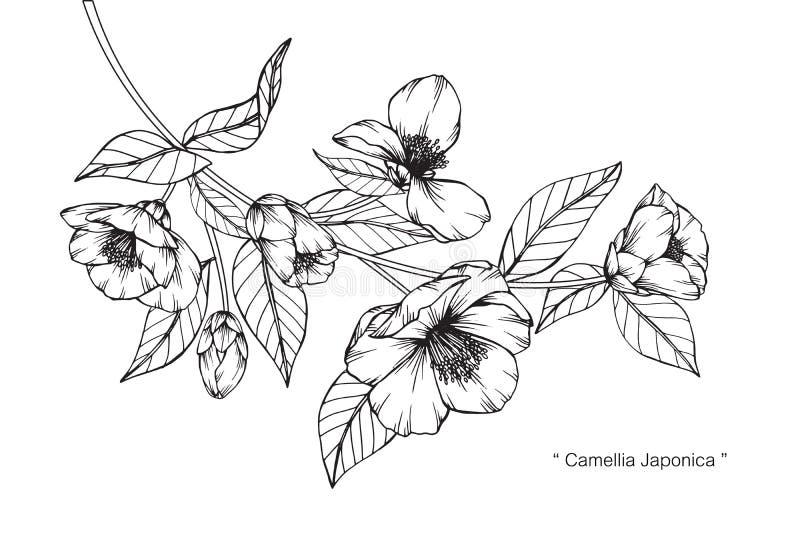 Camellia Japonica blüht Zeichnung und Skizze vektor abbildung