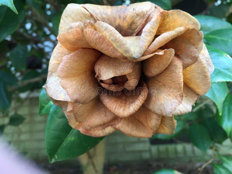 Camellia Japonica Bloom de morte foto de stock royalty free