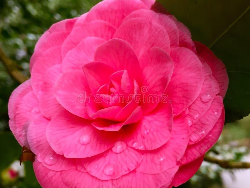 Camellia Japonica cor-de-rosa com orvalho da manhã imagens de stock royalty free
