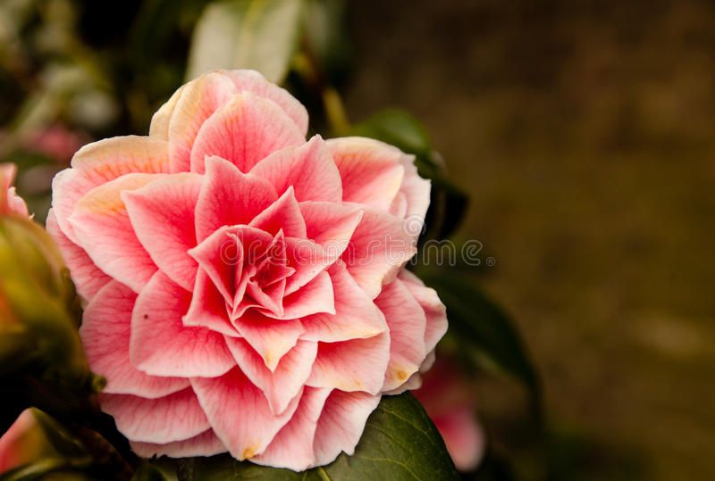 Camellia Japonica flower. Pink flower Camellia Japonica in spring royalty free stock photos