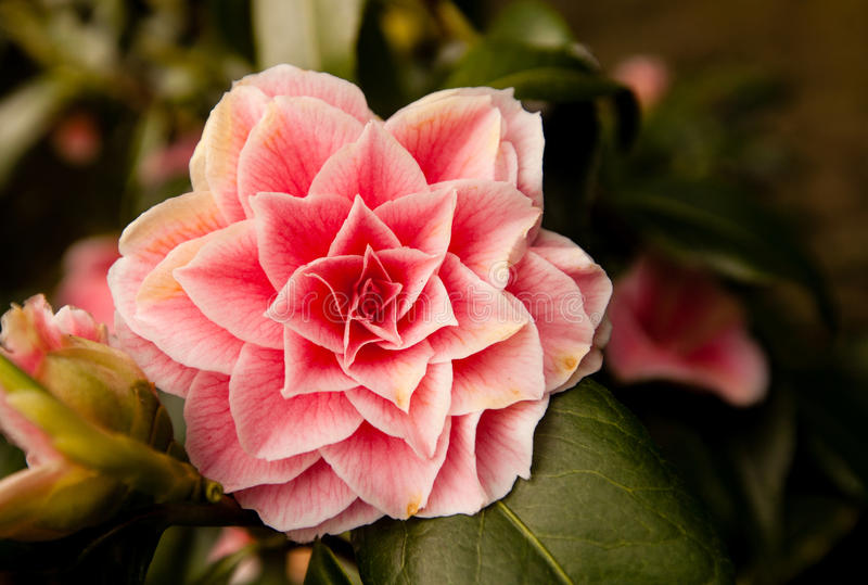 Camellia Japonica flower. Pink flower Camellia Japonica in spring royalty free stock photography