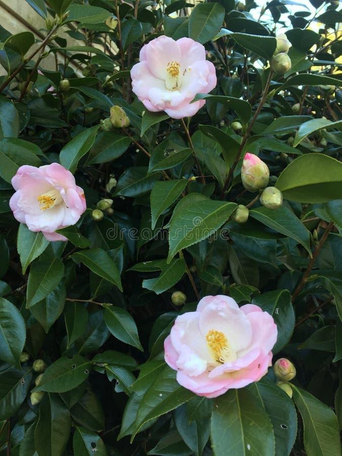 Camellia Japonica i blom fotografering för bildbyråer