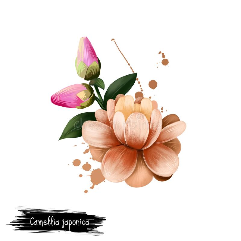 Digital art illustration of Camellia japonica isolated on white. Hand drawn flowering bush Japanese camellia. Colorful botanical. Camellia japonica isolated on stock illustration