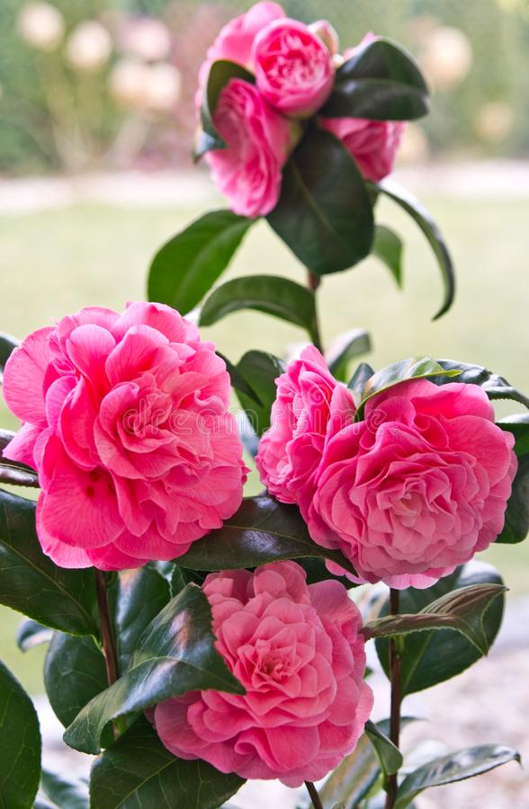 Camellia Japonica pink flower still life. Camellia Japonica pink flower blossoming, both indoor and outdoor flower known specially for Japanese gardens royalty free stock photos