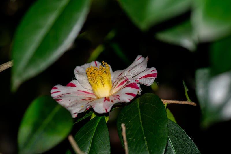 Camellia Japonica Tricolor stock foto's