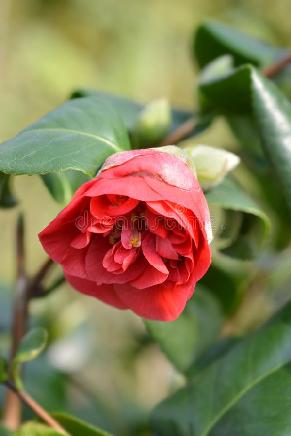 Camellia Lady Campbell. Latin name - Camellia japonica Lady Campbell royalty free stock photos
