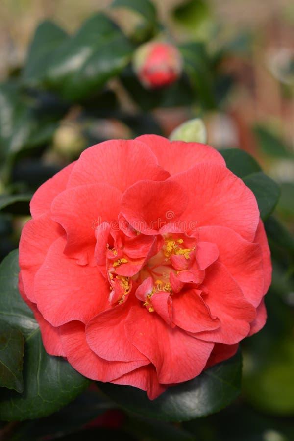 Camellia Lady Campbell fotografia de stock