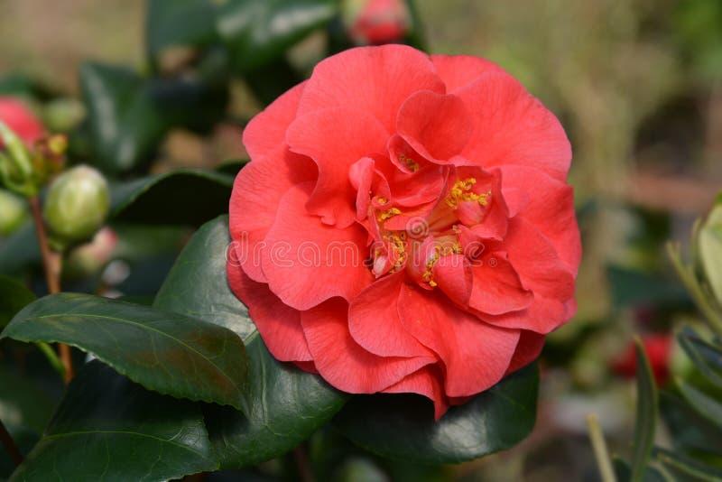 Camellia Lady Campbell fotos de stock royalty free