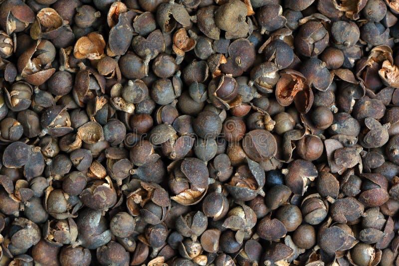 Camellia Oil Seeds foto de stock royalty free