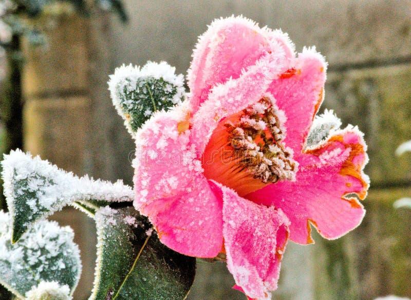 Camellia Sasanqua On cristalina Frosty Spring Morning fotos de stock