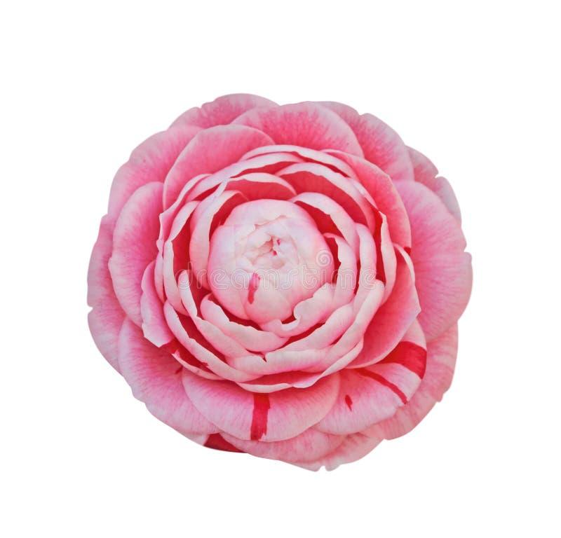 Camellia som isoleras på vit arkivbild