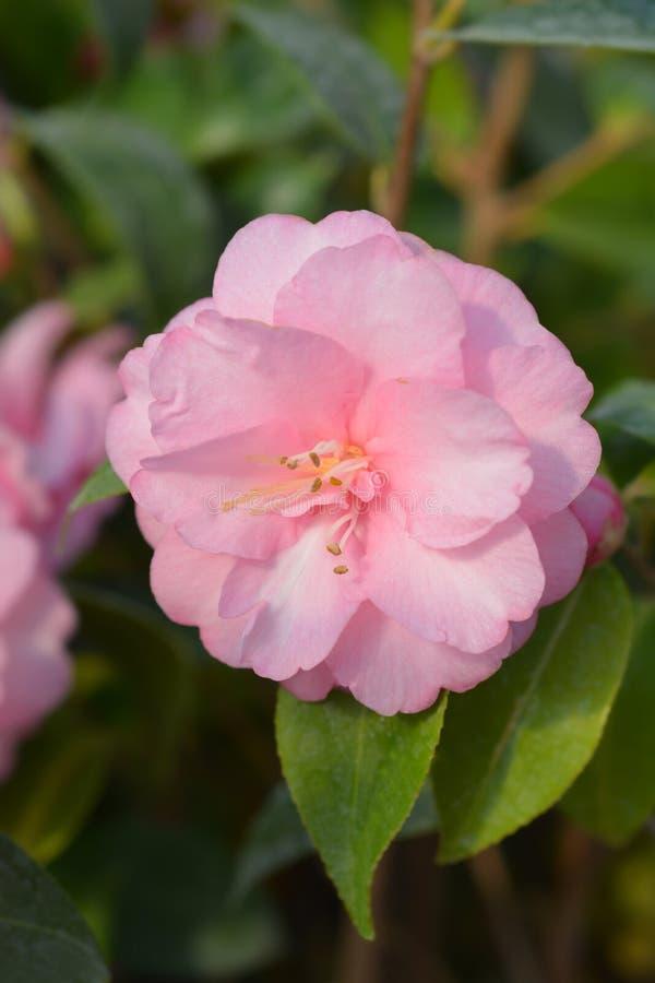 Camellia Spring Festival arkivbilder