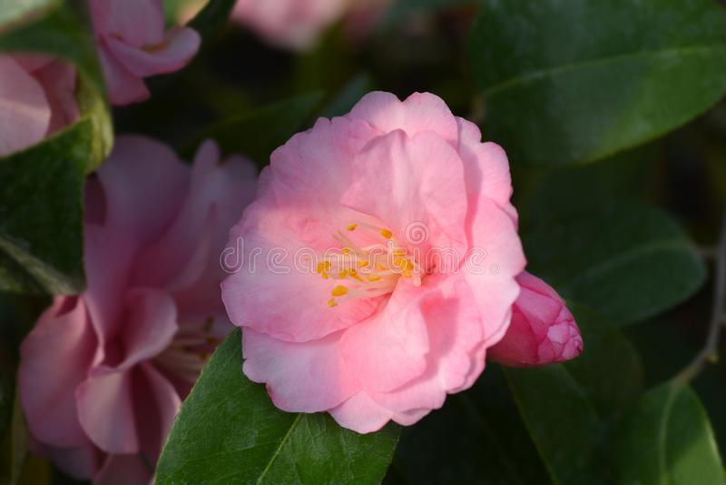 Camellia Spring Festival royaltyfria foton