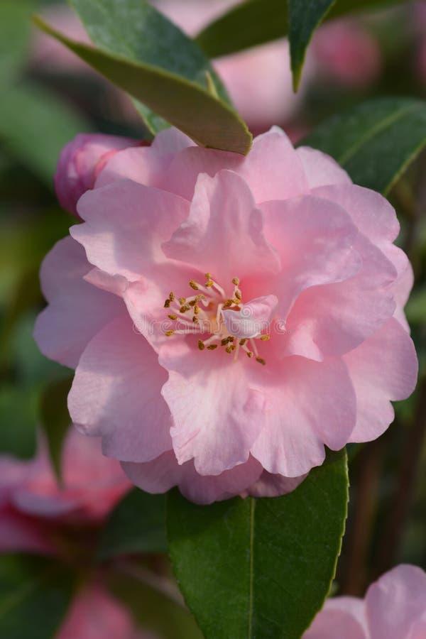 Camellia Spring Festival fotografering för bildbyråer