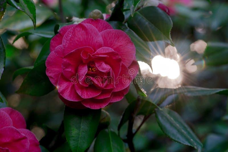 Camellia Sunshine rosa immagine stock libera da diritti